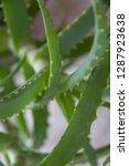 aloe houseplant. green leaves...   Shutterstock . vector #1287923638