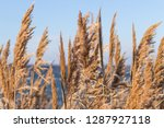 dried stalks of reeds against... | Shutterstock . vector #1287927118