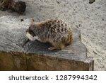 small brown meerkat curled up... | Shutterstock . vector #1287994342