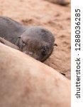 baby fur seal in cape cross...   Shutterstock . vector #1288036285