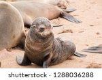 baby fur seal in cape cross...   Shutterstock . vector #1288036288