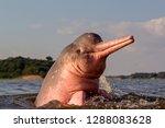boto amazon river dolphin | Shutterstock . vector #1288083628