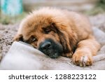 Stock photo the tibetan mastiff puppy sleeps on the ground in summer 1288223122