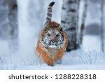 siberian tiger  panthera tigris ...   Shutterstock . vector #1288228318