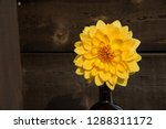 Giant Gold Dahlia Bloom with Orange Center in Brown Vase Against Rustic Wood Background. Golden Mustard Yellow Flower with Dark Space for Copy on Left