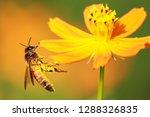 Honeybee Kissing Sunflower - Fine Art prints