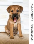 yawning readhead puppy | Shutterstock . vector #1288329442