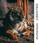 a tiger washing and grooming... | Shutterstock . vector #1288337842