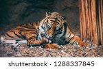 a tiger washing and grooming... | Shutterstock . vector #1288337845