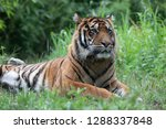 a tiger washing and grooming... | Shutterstock . vector #1288337848