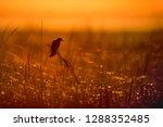 a red winged blackbird perches... | Shutterstock . vector #1288352485