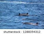 family of dolphin | Shutterstock . vector #1288354312