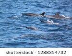 family of dolphin | Shutterstock . vector #1288354732