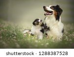 Stock photo puppy with mom proud australian shepherd puppy 1288387528