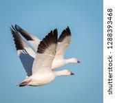 Snow Geese  Chen Caerulescens ...