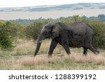 an elephant walking across the... | Shutterstock . vector #1288399192
