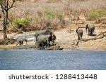 elephants on the chobe river    ... | Shutterstock . vector #1288413448