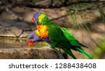 rainbow lorikeets playing in a... | Shutterstock . vector #1288438408