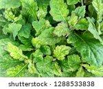 wild plants grow naturally in...   Shutterstock . vector #1288533838