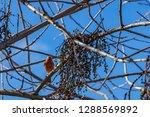 orange house finch in a tree | Shutterstock . vector #1288569892