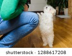 White Suited Maltese Puppy...