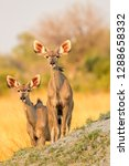 Two Young Kudu Antelopes At...