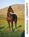 slim black stallion standing in ...   Shutterstock . vector #1288684975