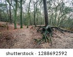 aboveground roots of a scots...   Shutterstock . vector #1288692592