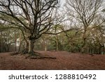 aboveground roots of a leafless ...   Shutterstock . vector #1288810492