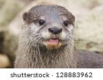 Small Clawed Otter With A Half...