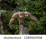 Stock photo long eared owl asio otus land on the dry tree beautiful owl with orange eyes landing on dry tree 1289003908