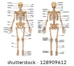 Human Skeleton From The...