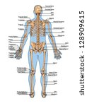 human skeleton from the... | Shutterstock .eps vector #128909615