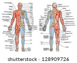Постер, плакат: human skeleton from the