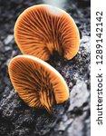 Orange Mushrooms. Shelf Fungus. ...