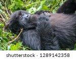 mountain gorillas in volcanoes... | Shutterstock . vector #1289142358