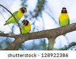 Small photo of Three Masked Lovebirds (Agapornis personatus) Tarangire, Tanzania