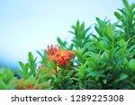 little flower in my garden | Shutterstock . vector #1289225308