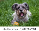 Stock photo small grey terrier dog playing with ball 1289239918