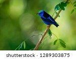 red legged honeycreeper  ... | Shutterstock . vector #1289303875
