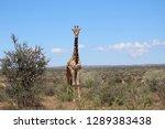 giraffe africa model  safari... | Shutterstock . vector #1289383438