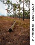 long bare scots pine tree trunk ...   Shutterstock . vector #1289423215