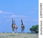 giraffe   giraffa... | Shutterstock . vector #1289532985