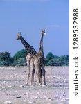 giraffe   giraffa... | Shutterstock . vector #1289532988