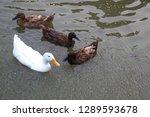 Animal Wildlife  White Duck And ...