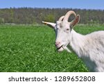 goats in the pasture of organic ... | Shutterstock . vector #1289652808