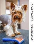 cute little yorkshire terrier... | Shutterstock . vector #1289695972