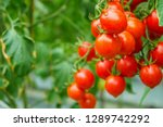 fresh ripe red tomatoes plant... | Shutterstock . vector #1289742292