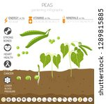 peas beneficial features... | Shutterstock .eps vector #1289815885