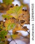 beech tree leaves close up | Shutterstock . vector #1289849035